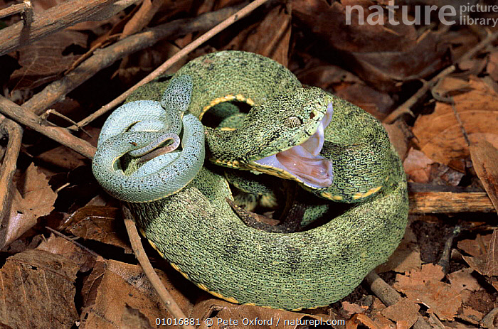 Two Striped Forest Pit Viper mother with day old young. Ecuadorian Amazon rainforest.  ,  FEMALES, HORIZONTAL, MOUTHS, tropical-rainforest, VERTEBRATES, VIPERS, BABIES, BEHAVIOUR, DEFENSIVE, FAMILIES, INTERESTING, OUTSTANDING, REPTILES, SNAKES  ,  Pete Oxford