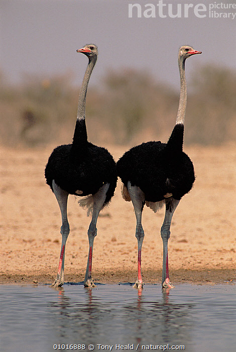 RF- Two male Ostrich (Struthio camelus) at a waterhole, Ethosha National Park, Namibia. (This image may be licensed either as rights managed or royalty free.)  ,  FLIGHTLESS,FLIGHTLESS-BIRDS,FRIENDSHIP,OSTRICHES,OUTSTANDING,RESERVE,VERTEBRATES,VERTICAL,WATER,AFRICA,BIRDS,HUMOROUS,MALES,NP,PORTRAITS,WATERHOLE,STRUTHIO CAMELUS,Animal,Vertebrate,Bird,Birds,Rheiformes,Ostrich,Animalia,Animal,Wildlife,Vertebrate,Aves,Bird,Birds,Struthioniformes,Rheiformes,Struthionidae,Ostrich,Ignoring,Standing,Alertness,Contrasts,Colour,Black,Two,Nobody,Length,Long,Lengthy,Africa,Southern Africa,Namibia,South-West Africa,Full Length,Front View,Male Animal,Water's Edge,Outdoors,Relationship Difficulties,Separating,Nature,Wild,Water,Reserve,Protected area,National Park,Sentry behaviour,Two animals,Namibian,Etosha National Park,RF,Royalty free,RFCAT1,RF17Q1,Ratite,Ratites,Flightless  ,  Tony Heald