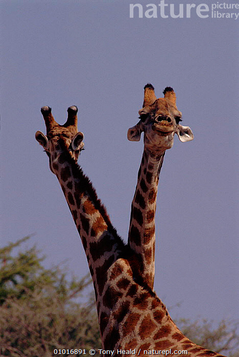 Two male Giraffe (Giraffa camelopardalis) sparring (also known as 'necking'). Namibia, Southern Africa  ,  INTERESTING,TWO,SPARRING,FIGHTING,PORTRAITS,NECKING,SOUTHERN AFRICA,VELDT,MALES,OUTSTANDING,TERRITORIAL,VERTICAL,DOMINANCE,MAMMALS,FACES,NAMIBIA,ARTIODACTYLA,GRASSLAND,AGGRESSION,Concepts  ,  Tony Heald