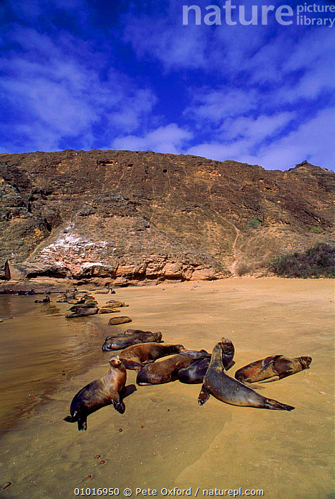 Galapagos sealions (Zalophus californianus). Punta Pitt, San Christobal Island, Galapagos  ,  BEACHES,CHRISTOBAL,COASTS,CONCEPTS,GROUPS,HOLIDAYS,ISLAND,LANDSCAPES,MAMMALS,PEACEFUL,PINNIPEDS,PITT,PUNTA,RESTING,SAN,SEA,SEALS,VERTICAL,SOUTH-AMERICA, CARNIVORES , CARNIVORES  ,  Pete Oxford