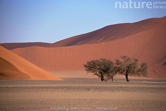 Trees and sand dunes at Sossus Vlei, Namib-Naukluft, Namibia  ,  AFRICA,DESERTS,LANDSCAPES,SOUTHERN AFRICA  ,  Ron O'Connor