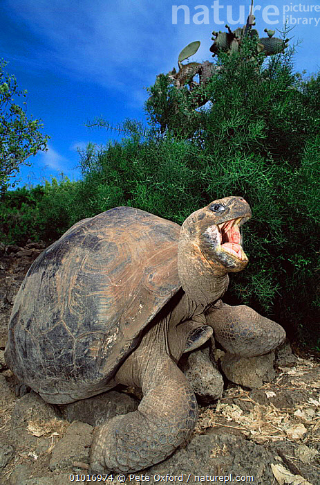Galapagos Giant Tortoise, Charles Darwin Research Station (Geochelone elephantopus)  ,  CHELONIA,CONSERVATION,ENDANGERED,GALAPAGOS,OLD,PORTRAITS,REPTILES,SOUTH AMERICA,TORTOISES,VERTEBRATES,VERTICAL, Tortoises  ,  Pete Oxford