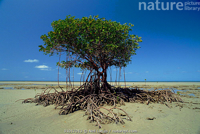 Mangrove tree with roots at low tide, Daintree, Australia.  ,  AUSTRALIA,DAINTREE,INTERTIDAL,LANDSCAPES,LITTORAL,LOW,MANGROVES,MARINE,NL,PLANTS,QUEENSLAND,ROOTS,TIDE,TREES  ,  Neil Lucas