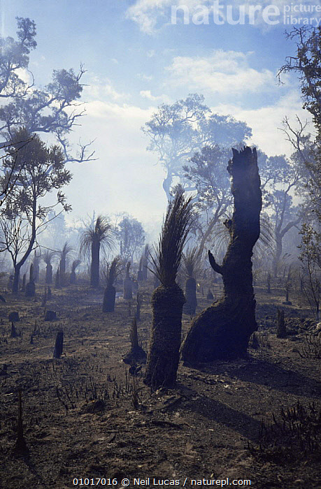 Bushfire, Perth. Western Australia.  ,  AUSTRALASIA,AUSTRALIA,FIRE,HEATHLAND,INTERESTING,PLANTS,TREES  ,  Neil Lucas