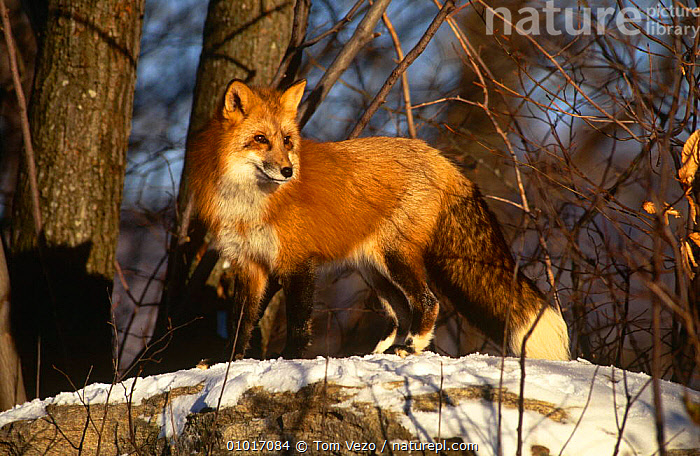 Red fox in snow (Vulpes vulpes) Captive, USA  ,  CANIDS,CARNIVORES,FOXES,MAMMALS,USA,VERTEBRATES,WINTER,North America,Dogs  ,  Tom Vezo