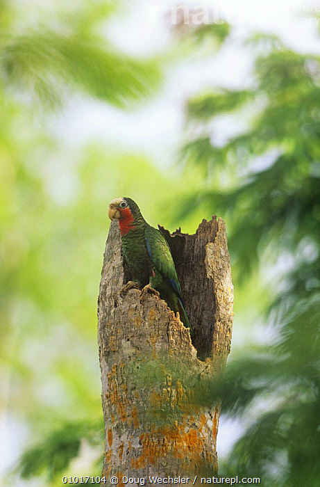 Cuban amazon parrot  (Amazona leucocephala) at nest cavity entrance, Zapata Swamp, Cuba  ,  BIRDS,CENTRAL AMERICA,GREEN,NESTS,PARROTS,SWAMPS,TREES,TRUNKS,VERTEBRATES,VERTICAL,Wetlands,PLANTS  ,  Doug Wechsler