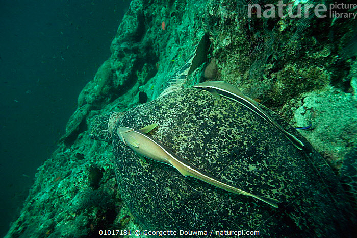 Green turtle {Chelonia mydas} with Remora on carapace, Sipadan, Malaysia  ,  ASIA,CARAPACE,CONCEPTS,CORAL REEFS,FISH,GD,MALAYSIA,MARINE,MIXED SPECIES,PARTNERSHIP,REMORA,REPTILES,SIPADAN,SOUTH EAST ASIA,SYMBIOSIS,TURTLES,Chelonia, Turtles  ,  Georgette Douwma