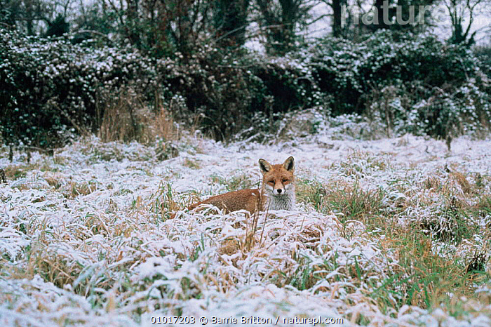 Dog fox in snow (Vulpes vulpes) UK  ,  BIG,CANIDS,CARNIVORES,ENGLAND,FOXES,MALES,MAMMALS,RED,SNOW,VERTEBRATES,WINTER,Europe,Dogs  ,  Barrie Britton