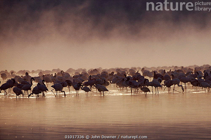 Lesser Flamingos in Lake Nakuru at sunrise, Kenya  ,  AFRICA,EAST AFRICA,GROUPS,FLOCKS,HORIZONTAL,,KENYA,NAKURU,BIRDS,SILHOUETTES,,JD,DAWN/SUNRISE,MIST,SUNRISE ,WADING BIRDS ,LAKES  ,  John Downer