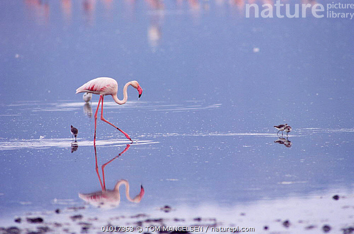 Lesser Flamingo wading. (Phoeniconaias minor) Tanzania Ngorongoro, Africa.  ,  REFLECTIONS,WADING BIRDS,WALKING,WATER,LAKES,PORTRAITS,MIXED SPECIES,EAST AFRICA,FLAMINGOS,BIRDS,Africa  ,  TOM MANGELSEN