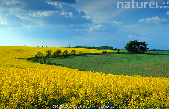 Field of rape in flower, Gloucestershire  ,  AGRICULTURE,CROPS,FARMLAND,FLOWERS,LANDSCAPES,UK,YELLOW,Europe,United Kingdom,British,ENGLAND  ,  David Noton
