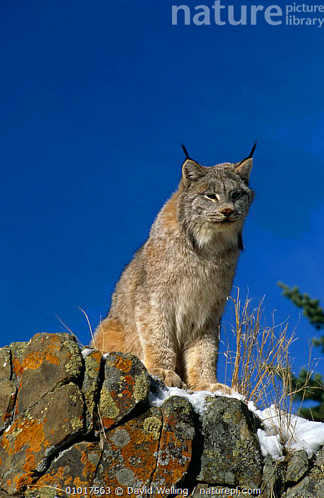 Lynx in snow (Felis Lynx) captive, Califonia, USA.  ,  CARNIVORES,CATS,MAMMALS,NORTH AMERICA,PORTRAITS,VERTEBRATES  ,  David Welling