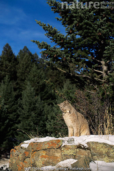 Lynx  (Felis Lynx) WWS, Califonia, USA. Captive  ,  CARNIVORES,CATS,MAMMALS,USA,VERTEBRATES,WINTER,North America  ,  David Welling