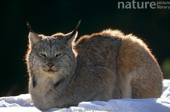 Lynx in snow (Felis Lynx) captive, Califonia, USA.  ,  CARNIVORES,CATS,MAMMALS,NORTH AMERICA,PORTRAITS,USA,VERTEBRATES,WINTER  ,  David Welling