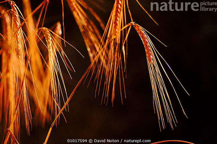Barley (Hordenum vulgare). England, UK, Europe  ,  ARTY SHOTS,AUTUMN,BACKLIT,BRITISH,CLOSE UPS,CROPS,ENGLAND,EUROPE,GRASSES,HORIZONTAL,PLANTS,UNITED KINGDOM,VERTICAL  ,  David Noton