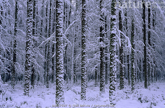 Larch plantation in winter (Larix decidua) Scotland  ,  CONIFERS,EUROPE,GYMNOSPERMS,PLANTS,SCOTLAND,SNOW,TAXACEAE,TREES,TRUNKS,WINTER,WOODLANDS  ,  Niall Benvie