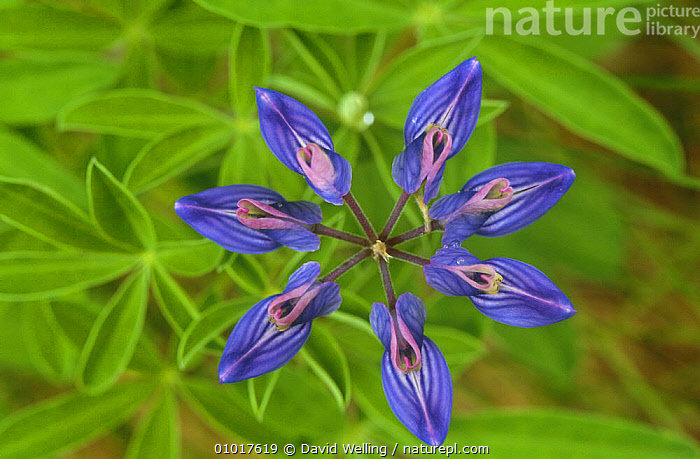 Arctic lupine flower (Lupinus arcticus) Hatcher Bay,  Alaska  ,  ARCTIC,BLUE,CLOSE UPS,DICOTYLEDONS,FABACEAE,FLOWERS,LEGUME,PLANTS,USA,North America  ,  David Welling