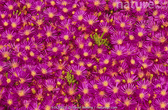 Trailing ice plant (Lampranthus zeyheri) flowers. USA  ,  , AIZOACEAE, DICOTYLEDONS, FLOWERS, PATTERNS, PINK, PLANTS, SUCCULENT, USA,North America  ,  David Welling