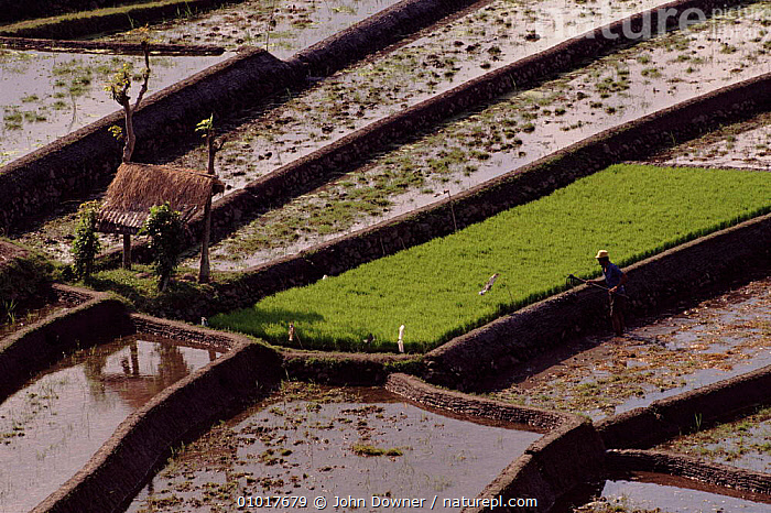 Rice paddy fields in Bali, showing terracing. Indonesia.  ,  AGRICULTURE,ASIA,FARMLAND,FIELDS,HORIZONTAL,JD,PADDY,RICE,SOUTH EAST ASIA,TERRACES,INDONESIA,SOUTH-EAST-ASIA  ,  John Downer