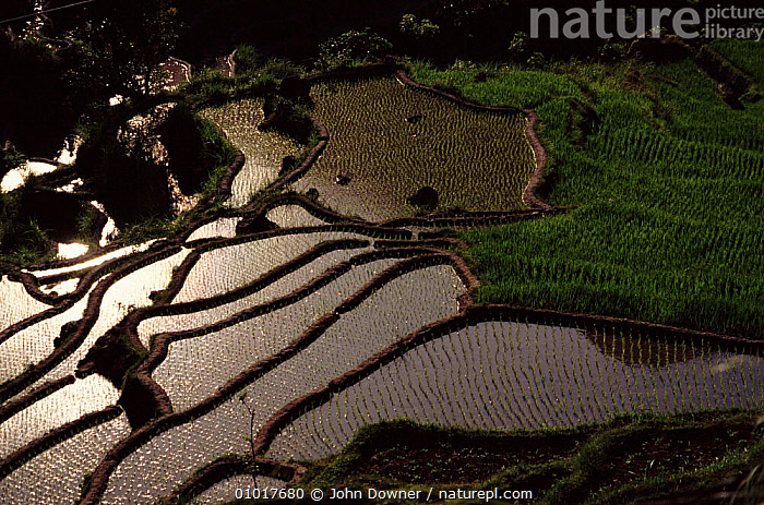 Rice paddy fields in Bali, showing terracing. Indonesia.  ,  AGRICULTURE,ASIA,FARMLAND,FIELDS,HORIZONTAL,JD,PADDY,RICE,SOUTH EAST ASIA,TERRACES,WATER,INDONESIA,SOUTH-EAST-ASIA  ,  John Downer