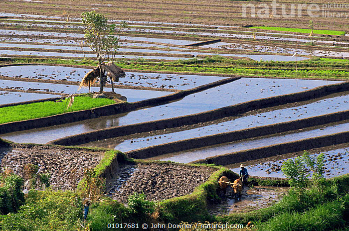 Rice Paddy fields in Bali, showing terracing. Indonesia. Traditional agriculture.  ,  AGRICULTURE,ASIA,EDIBLE,FARMLAND,HARVESTING,INDONESIA,SOUTH EAST ASIA,TRADITIONAL,SOUTH-EAST-ASIA  ,  John Downer