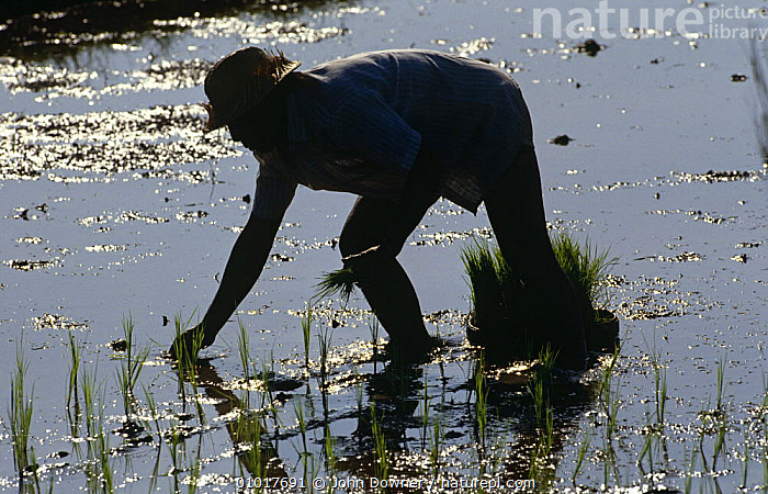 Silhouette of man planting rice crop in paddy field, Bali, Indonesia.  ,  AGRICULTURE,ASIA,CROPS,EDIBLE,FARMLAND,MAN,PEOPLE,SILHOUETTES,SOUTH EAST ASIA,TRADITIONAL,WATER,INDONESIA,SOUTH-EAST-ASIA  ,  John Downer