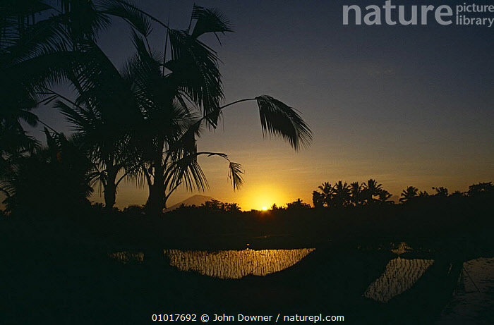 Sunset over Rice Paddy field, Bali.  ,  AGRICULTURE,ASIA,FARMLAND,INDONESIA,LANDSCAPES,SOUTH EAST ASIA,SUNSET,TRADITIONAL,VOLCANOES,Geology,SOUTH-EAST-ASIA  ,  John Downer