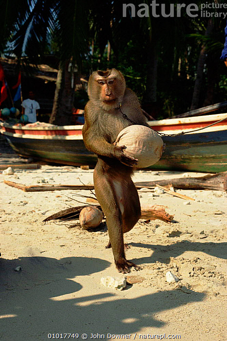Trained Macaque collects coconuts for owner. Bali Ko Samui, Bali, Indonesia.  ,  ASIA,BEACHES,CARRYING,COCONUT,COOPERATION,EDIBLE,INTERESTING,JD,KO,MACAQUE,MAMMALS,NUTS,PETS,PLANTS,PRIMATES,SAMUI,SOUTH EAST ASIA,TRAINED,VERTICAL,WORKING,INDONESIA,SOUTH-EAST-ASIA  ,  John Downer