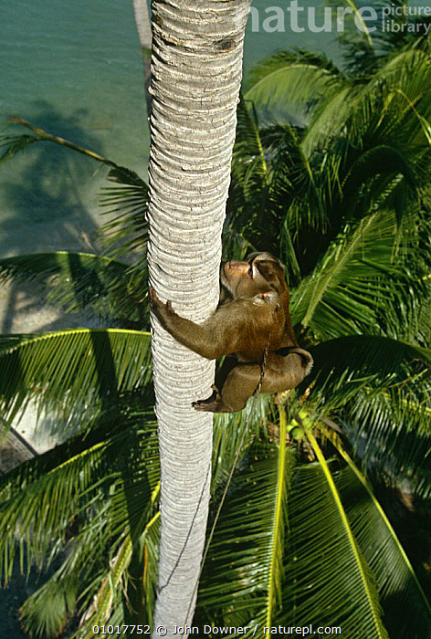 Macaque trained to climb Coconut tree and throw down nuts, Ko Samui, Bali, Indonesia.  ,  ASIA,BEACHES,CLIMBING,COOPERATION,EDIBLE,INDONESIA,INTERESTING,MAMMALS,PETS,PLANTS,PRIMATES,SOUTH EAST ASIA,TRADITIONAL,TREES,VERTICAL,WORKING,SOUTH-EAST-ASIA  ,  John Downer