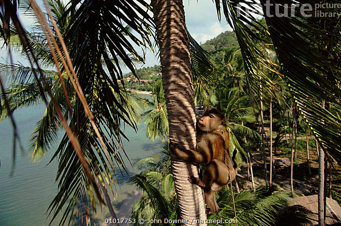 Trained Macaque climbs coconut tree to throw down nuts, Bali Ko Samui, Bali, Indonesia.  ,  ASIA,CLIMBING,COCONUT,COOPERATION,HORIZONTAL,WORKING,INTERESTING,JD,MACAQUE,MAMMALS,NUTS,PETS,PLANTS,PRIMATES,SAMUI,SOUTH EAST ASIA,TREES,INDONESIA,SOUTH-EAST-ASIA  ,  John Downer
