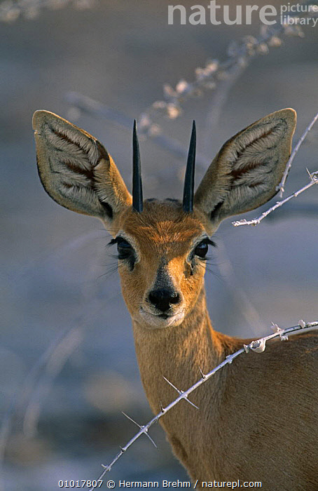 Portrait of a Steenbok {Raphicerus campestris} Namibia, southern Africa  ,  AFRICA,ANTELOPES,ANTLERS,ARTIODACTYLA,BOVIDS,EARS,FACES,HEADS,MAMMALS,PORTRAITS,SOUTHERN AFRICA,STEENBOKS,VERTEBRATES,VERTICAL  ,  Hermann Brehm