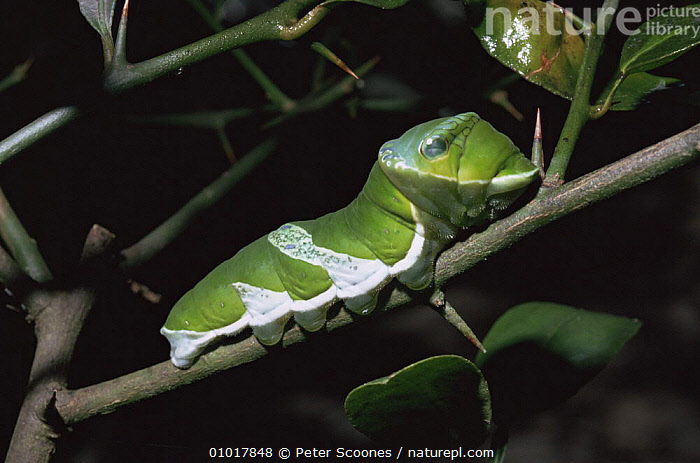 False eye / great mormon caterpillar (Papilio memnon) larva on twig.  ,  BUTTERFLIES,INSECTS,INVERTEBRATES,LARVAE,LEPIDOPTERA,MIMICRY,SOUTH EAST ASIA,SWALLOWTAIL BUTTERFLIES,TROPICAL RAINFOREST,Asia  ,  Peter Scoones