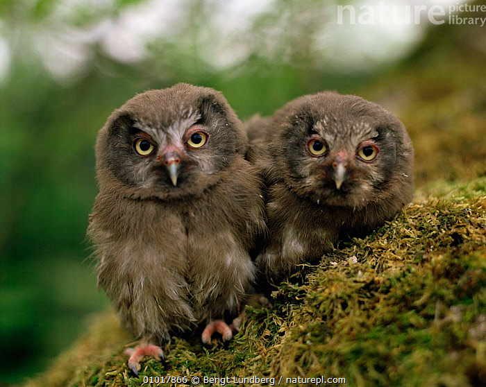 Two Tengmalm's Owl chicks (Aegolius funereus) Sweden.  ,  AFFECTIONATE,BIRDS,BIRDS OF PREY,CHICKS,CUTE,FRIENDSHIP,JUVENILE,MOSS,OWLS,PORTRAITS,SWEDEN,VERTEBRATES,Europe,Scandinavia,concepts,Raptor  ,  Bengt Lundberg