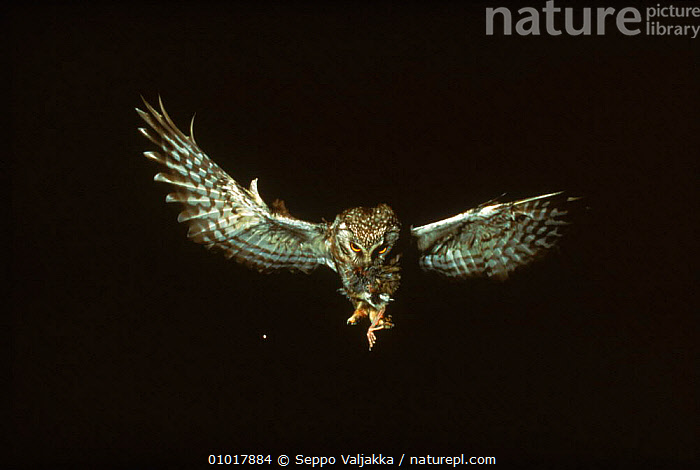 Tengmalm's owl (Aegolius funereus) in flight with prey. Finland, Scandinavia, Europe  ,  PREDATION,SCANDINAVIA,PREY,FINLAND,WINGS,NIGHT,FEEDING,BIRDS,,FLYING,HORIZONTAL,ACTION ,BIRDS OF PREY,EUROPE,BEHAVIOUR,OWLS,RAPTOR  ,  Seppo Valjakka