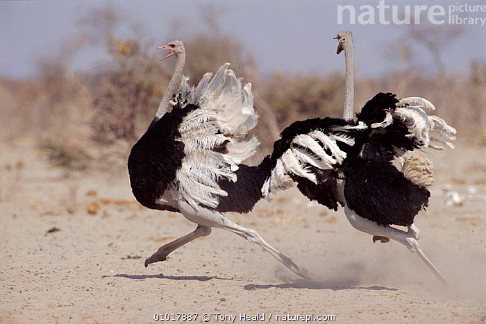 Two male Ostriches running during dispute, Etosha NP, Namibia. Ostrich can run at speeds of 43mph - they are the fastest terrestrial birds.  ,  ACTION,RUNNING,BIRDS,SOUTHERN AFRICA,ETOSHA,OUTSTANDING,NP,AGGRESSION,VOCALISATION,TH,DESERTS,MALES,FIGHTING,HORIZONTAL,FLIGHTLESS,NAMIBIA,CONCEPTS,NATIONAL PARK,Catalogue1  ,  Tony Heald