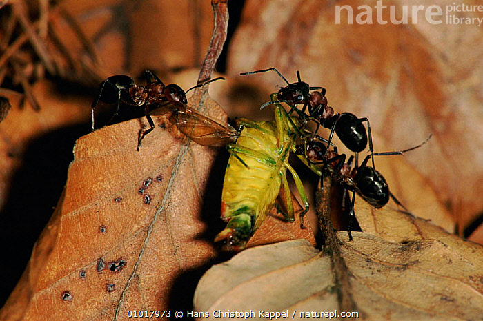 Ants collecting food, Germany  ,  COOPERATION,EUROPE,FEEDING,GERMANY,GROUPS,HK,HYMENOPTERA,INSECTS,INVERTEBRATES,SOCIAL BEHAVIOUR ,TEAMWORK  ,  Hans Christoph Kappel