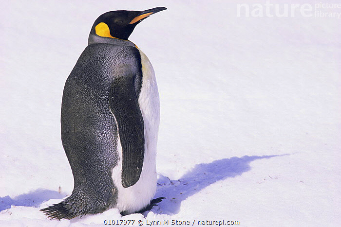 King penguin in snow, portrait (Aptenodytes patagoni) South Georgia, Antarctica.  ,  ANTARCTICA,BIRDS,FLIGHTLESS,PENGUINS,PORTRAITS,SEABIRDS,SNOW,VERTEBRATES, Seabirds  ,  Lynn M Stone