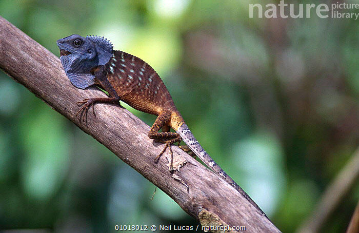 Lizard on branch (Lacerilia sp) Sabah, Borneo.  ,  SOUTH EAST ASIA,LACERILIA,REPTILES,TROPICAL RAINFOREST,BORNEO,LIZARDS,Asia  ,  Neil Lucas