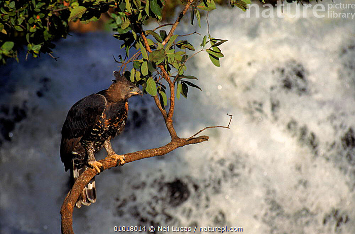 Crowned hawk eagle by waterfall, Zimbabwe. Captive bird  ,  CAPTIVE,BIRDS,SOUTHERN AFRICA,WATERFALLS,AFRICA,PERCHING,,NL,PORTRAITS,TREES,HORIZONTAL,,ZIMBABWE ,BIRDS OF PREY ,RIVERS,PLANTS,EAGLES,RAPTOR  ,  Neil Lucas