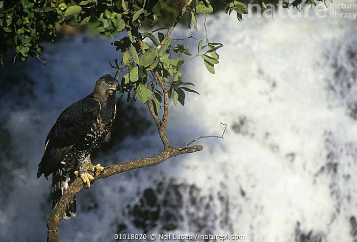 Crowned hawk eagle (Stephanoaetus coronatus) perched above waterfall, Zimbabwe, captive  ,  BIRDS,BIRDS OF PREY,BRANCHES,EAGLES,PORTRAITS,SOUTHERN AFRICA,TREES,VERTEBRATES,WATERFALLS,PLANTS  ,  Neil Lucas