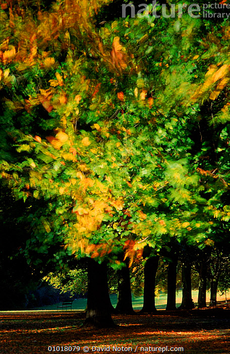 Avenue of Beech trees in Clifton, Bristol, England. Autumn  ,  (211.143BRISTOL),ARTY SHOTS,ATMOSPHERIC,AUTUMN,AVENUE,BEECH,CLIFTON,COLOURFUL,DNO,EENGLAND,GREEN,LEAVES,OUTSTANDING,PATTERNS,PLANTS,SCENIC,TREES,Europe  ,  David Noton