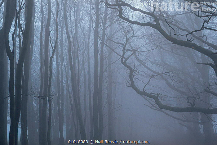 Mist at dawn in Scotland. (This image may be licensed either as rights managed or royalty free.)  ,  ATMOSPHERIC,DAWN,EUROPE,MIST,SCOTLAND,SILHOUETTES,SUNRISE,UK,WINTER,United Kingdom,British,RF, royalty free, RF3,,RF3,,RF,  ,  Niall Benvie
