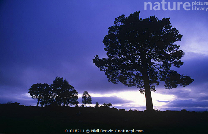 Scots Pine silhouetted at dusk (Pinus sylvestris) Speyside, Scotland  ,  ATMOSPHERIC,CONIFERS,DUSK,EUROPE,GYMNOSPERMS,LANDSCAPES,PINACEAE,PINES,PLANTS,SCOTLAND,SILHOUETTES,TREES  ,  Niall Benvie