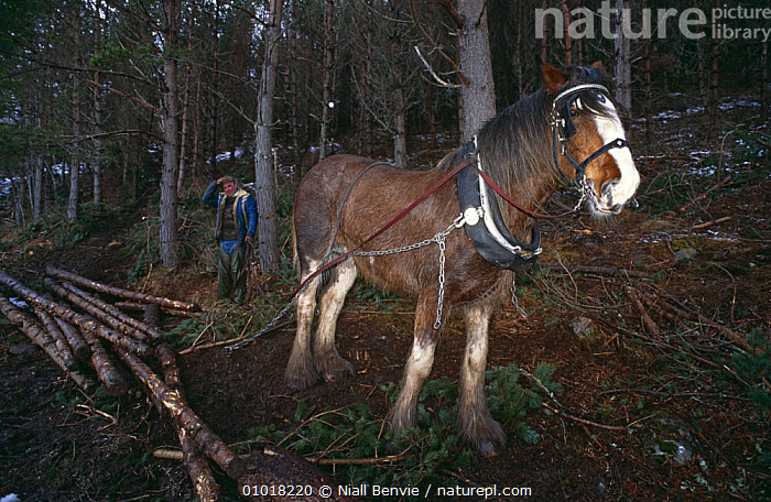 Timber production, use of horse for timber extraction, Glen Affric, Scotland.  ,  CONIFEROUS,EUROPE,FORESTRY,HORSES,INTERESTING,MAMMALS,SCOTLAND,TIMBER,TRADITIONAL,TREES,UK,WORKING,United Kingdom,Plants,British  ,  Niall Benvie