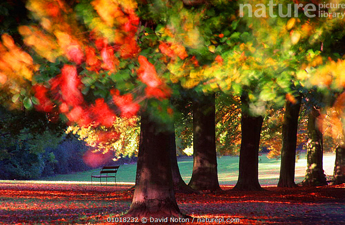 A row of Beech trees, The Promenade, Clifton, Bristol, England  ,  ABSTRACTS,ARTY SHOTS,ATMOSPHERIC,AUTUMN,CLIFFTON,COLOURFUL,ENGLAND,LANDSCAPES,LEAVES,OUTSTANDING,PLANTS,URBAN,Europe  ,  David Noton