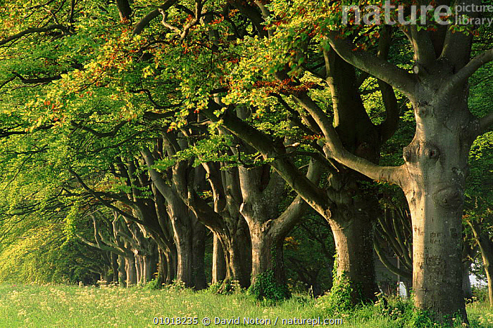 Avenue of Beech trees near Wimborne, Dorset, England  ,  BEECH,BRANCHES,BRITISH,DNO,EUROPE,FAGUS,GRASS,GREEN,LEAVES,OUTSTANDING,PLANTS,TREES,UK,UNITED KINGDOM,WIMBORNE,ENGLAND  ,  David Noton