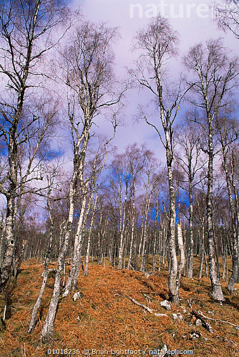 Birch trees in Glen Affric in winter. Scotland.  ,  BRANCHES,EUROPE,PLANTS,SCOTLAND,TREES,TRUNKS,UK,WINTER,United Kingdom,British  ,  Brian Lightfoot