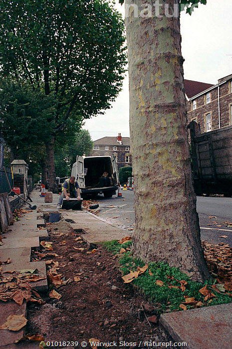 Laying Cable television wires in Bristol causing damage to city tree roots. UK England.  ,  BRITISH,BUILDINGS,CABLE,DAMAGE,EUROPE,MACHINERY,PEOPLE,PLANTS,ROADS,TREES,UK,UNITED KINGDOM,URBAN,VERTICAL,WS  ,  Warwick Sloss