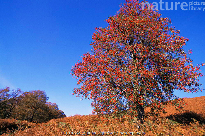 Autumn scenics in Scotland, showing the changing leaves. Fruits, bracken and blue skies.  ,  AUTUMN,BLUE,COLOURFUL,EUROPE,FERNS,FRUIT,LEAVES,PLANTS,RED,SCOTLAND,SKIES,TREES,UK,United Kingdom,British  ,  Brian Lightfoot