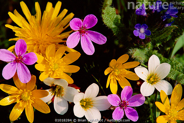 Mixed spring flowers including Meadow Saxafrage and Celandine  ,  ARTY SHOTS,COLOURFUL,EUROPE,GRAVEYARD,MIXED SPECIES,OUTSTANDING,PATTERNS,PLANTS,SCOTLAND,SPRING  ,  Brian Lightfoot